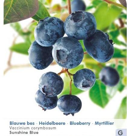 Vaccinium corymbosum 'Sunshine Blue' - Amerikaanse blauwe bes