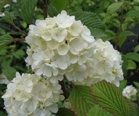 Viburnum plicatum 'Newport' op stam - Japanse sneeuwbal