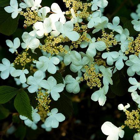 Viburnum plicatum 'Tennessee' stam - Japanse sneeuwbal