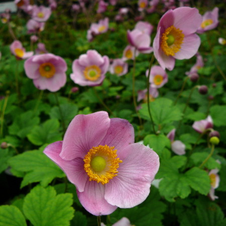 Anemone hupehensis 'Splendens' - herfstanemoon