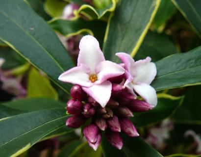 Daphne odora 'Aureomarginata' - Bontbladig peperboompje