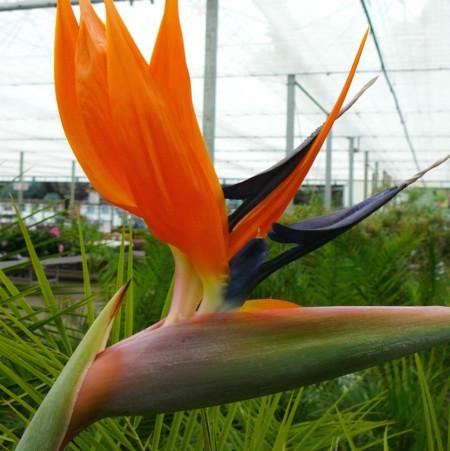Strelitzia reginae - paradijsvogelbloem