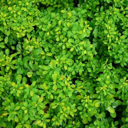 Berberis thunbergii 'Tiny Gold' - zuurbes