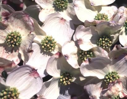 Cornus florida 'Barton's White' stam - kornoelje