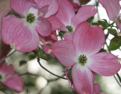 Cornus florida 'Rubra' stam