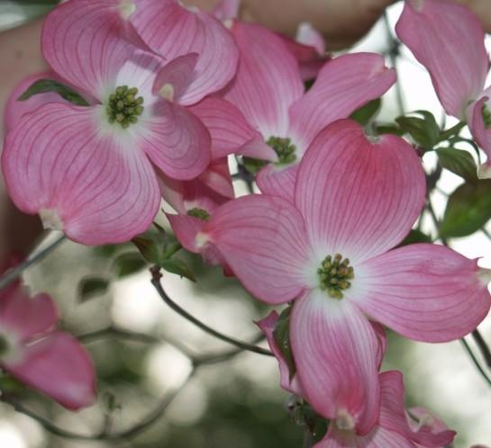 Cornus florida 'Rubra' stam - kornoelje