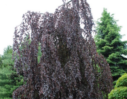 Fagus sylvatica 'Purple Fountain' - rode treurbeuk