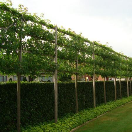 Liquidambar gumball planten