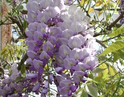 Wisteria floribunda 'Issai' - blauwe regen