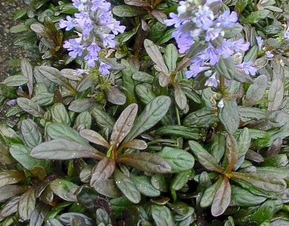 Ajuga reptans 'Chocolate Chip' pot 3 liter - zenegroen