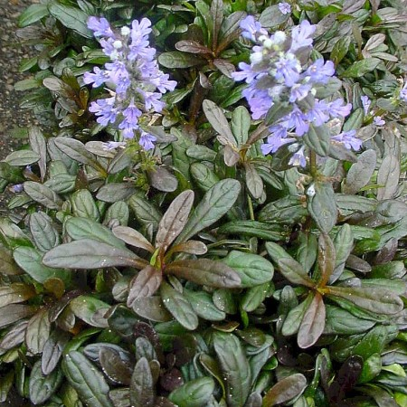 Ajuga reptans 'Chocolate Chip' (grote pot) - zenegroen