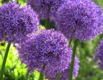 Allium 'Globemaster' (grote pot) - sierui