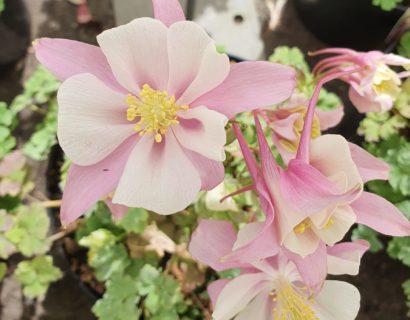 Aquilegia 'Early Pink White' (grote pot) - akelei