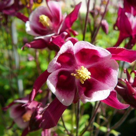 Aquilegia 'Red and White' (grote pot) - akelei