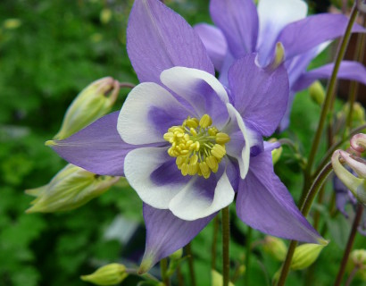 Aquilegia 'Blue and White' (grote pot)