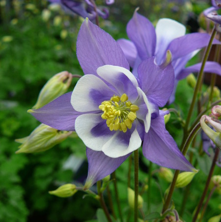 Aquilegia 'Blue and White' (grote pot) - akelei