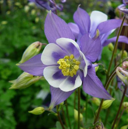 Aquilegia 'Blue and White' (grote pot) - akelei