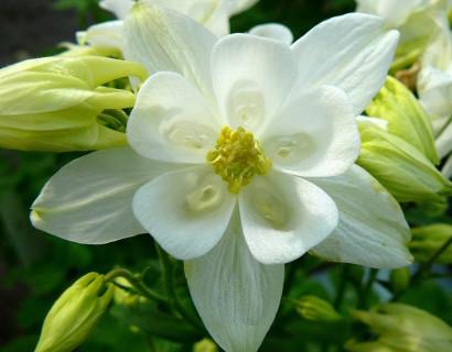 Aquilegia 'White' (grote pot) - akelei