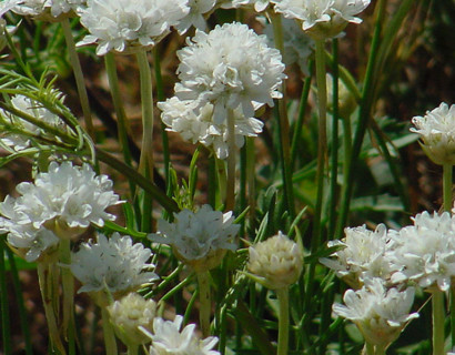 Armeria pseudoarmeria 'Ballerina White' (grote pot) - Engels gras