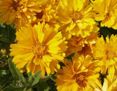 Coreopsis grandiflora 'Early Sunrise' pot 3 liter - meisjesogen