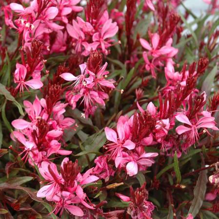 Gaura lindheimeri 'Dark Pink' (grote pot) - prachtkaars