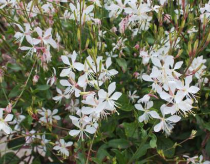 Gaura lindheimeri 'White' (grote pot)