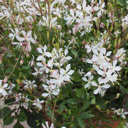 Gaura lindheimeri 'White' (grote pot) - prachtkaars