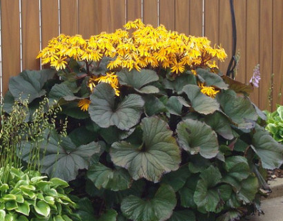 Ligularia dentata 'Othello' pot 3 liter - kruiskruid / tongkruiskruid