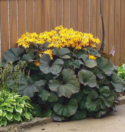Ligularia dentata 'Othello' pot 3 liter
