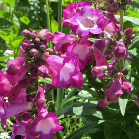 Penstemon 'Polaris Purple' (grote pot) - slangekop