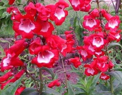 Penstemon 'Picotee Red' pot 3 liter - slangekop