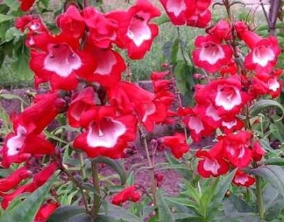 Penstemon 'Picotee Red' (grote pot) - slangekop