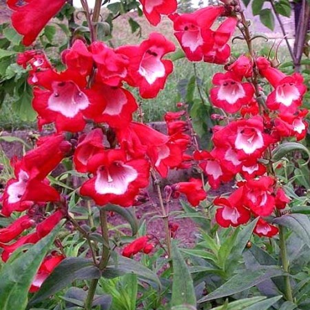 Penstemon 'Picotee Red' (grote pot) - slangekop