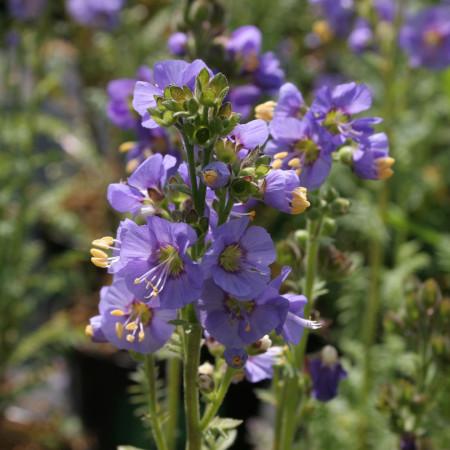 Polemonium caeruleum 'Bambino Blue' (grote pot) - jacobsladder