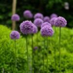 Wanneer kan ik mijn bloembollen planten?