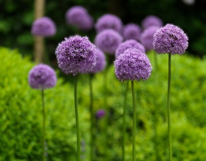 Allium 'Gladiator' (grote pot) - sierui