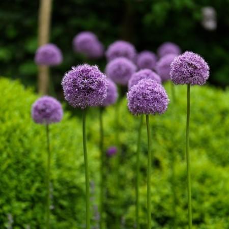 Allium 'Gladiator' (grote pot) - sierui