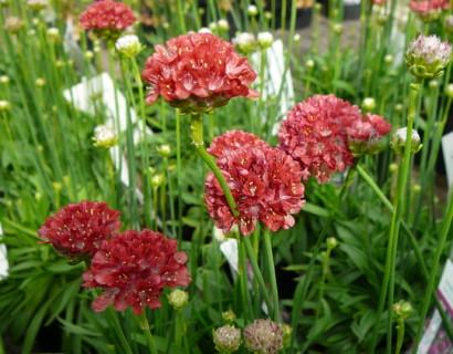 Armeria pseudoarmeria 'Ballerina Red' (grote pot) - Engels gras