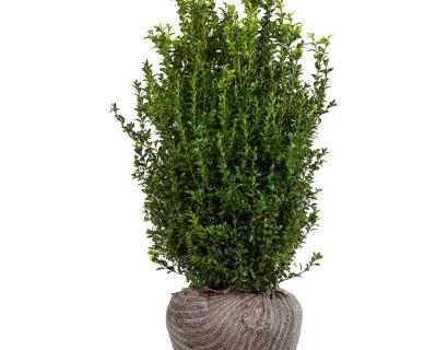 Buxus sempervirens kluit 60/80 struik