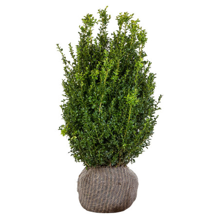 Buxus sempervirens struik 80/100 cm