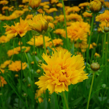 Coreopsis grandiflora 'Early Sunrise' (grote pot) - meisjesogen
