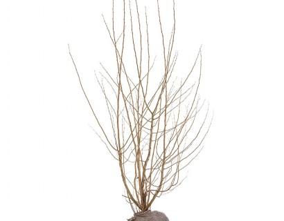 Corylus avellana kluit 2 meter