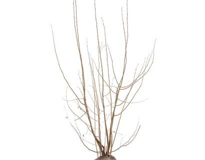 Corylus avellana 'Rode Zeller' kluit 2 meter