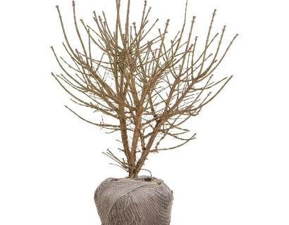 Euonymus alatus kluit 80/100