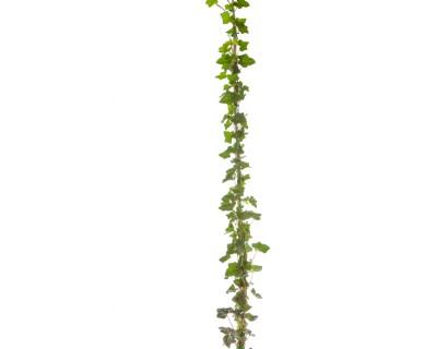 Hedera helix 'Hibernica' pot 3 liter 150/175 cm - grootbladige klimop