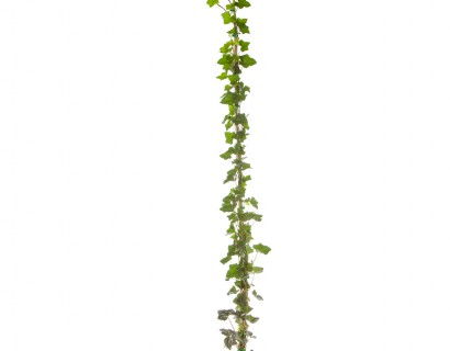Hedera helix 'Hibernica' pot 3 liter 150/175 - grootbladige klimop