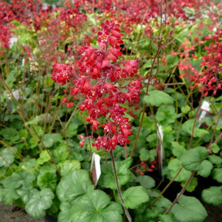 Heuchera sanguinea 'Ruby Bells (grote pot) - puperklokje
