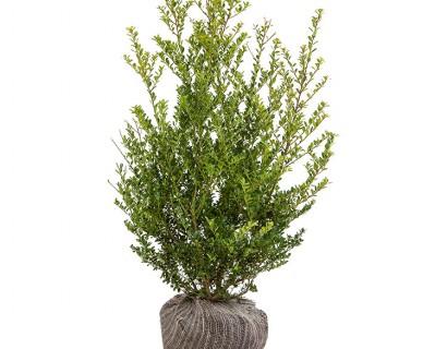 Ilex crenata 'Green Hedge' kluit 60/80
