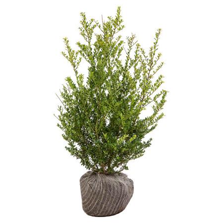Ilex crenata 'Green Hedge' 80/100 cm