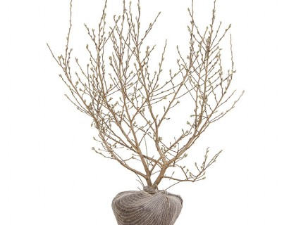Magnolia stellata kluit 100/125
